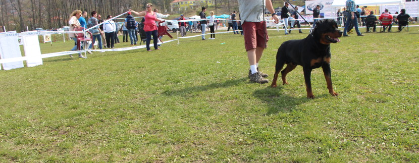 Bill showing our dog Brando Pop Rott at ADRK World Show Nis, Serbia 2015