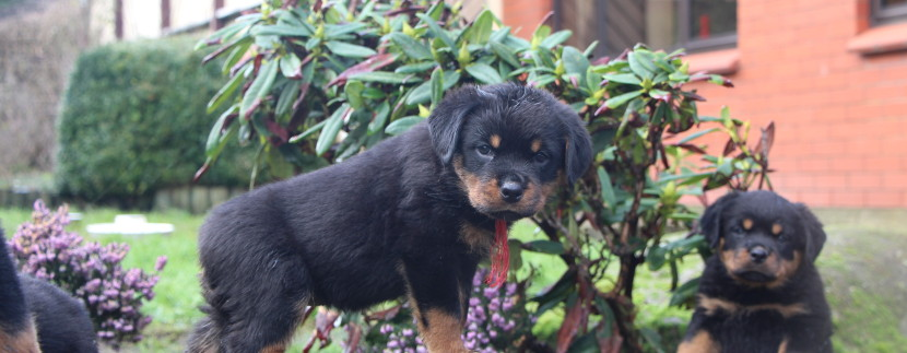 Orlick and Toa puppy girl at seven weeks old.