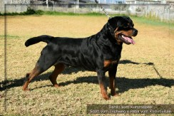 Danilo Vom Kummelsee HD +/- ED Frei. JLPP clear.  Imp. Germany. Owned by Taumata Rottweilers. click to enlarge