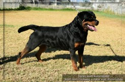 Danilo Vom Kumelsee HD +/- ED Frei. JLPP clear.  Imp. Germany. Owned by Taumata Rottweilers. click to enlarge
